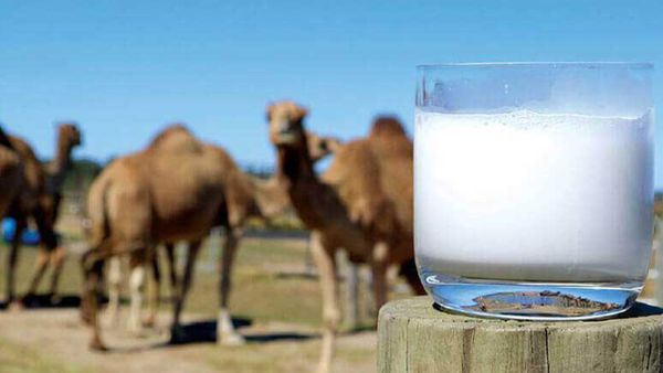 افزایش ۱۵ درصدی تولید شیر شتر در گلستان