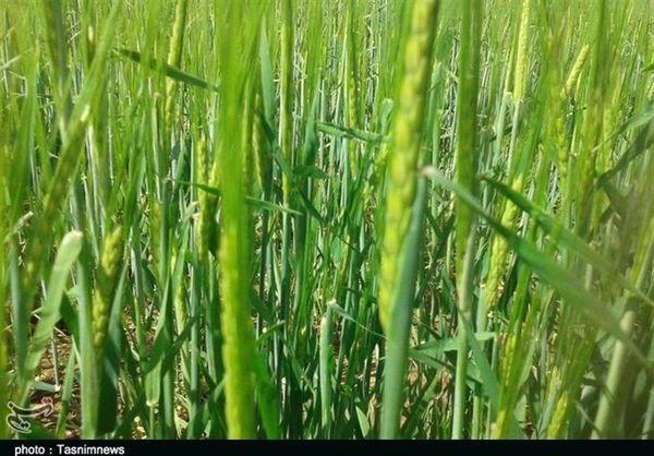 تولید محصولات کشاورزی در گلستان ۲۰ درصد افزایش مییابد