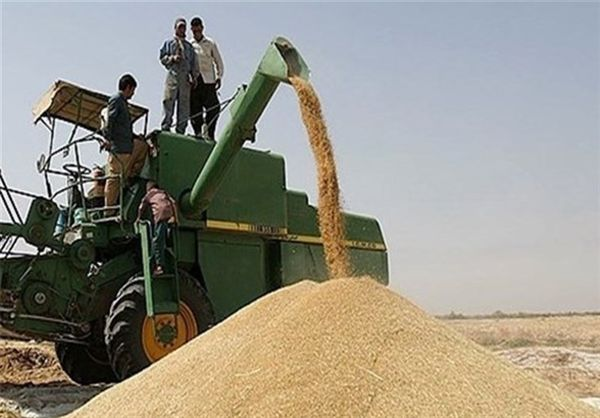 ۵۰ درصد پول گندمکاران کشور امسال نقد پرداخت میشود