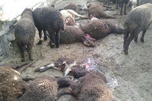 تکذیب حمله پلنگ به دامداری در علی آباد کتول