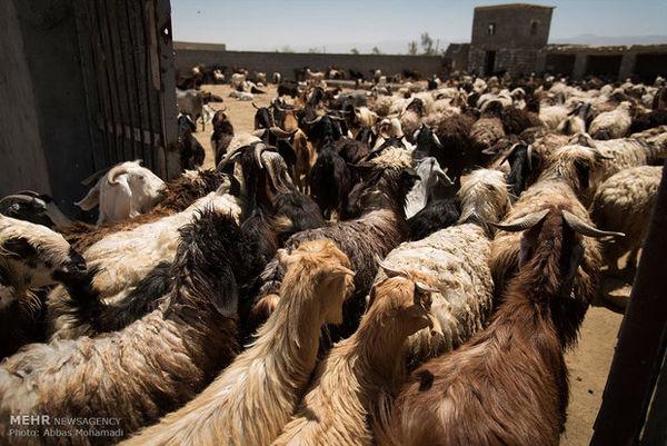 اسامی جایگاه های عرضه دام عید قربان در گرگان اعلام شد