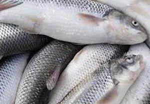 کشف بیش از ۲ تن ماهی بدون مجوز در آق قلا