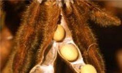 خرید تضمینی دانه روغنی سویا در ۱۴مرکز خرید گلستان آغاز شد