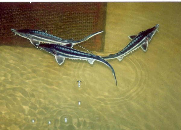 رشد 16 برابری تولید ماهیان خاویاری در استان گلستان