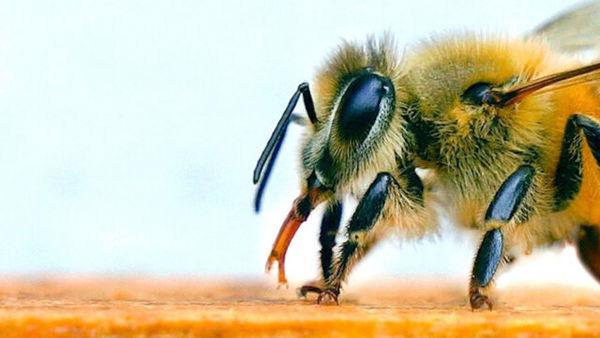 استفاده از زنبور به عنوان تست کرونا