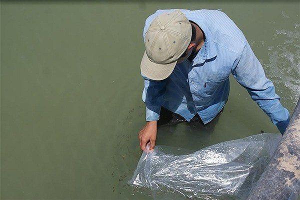 ۴۲ میلیون قطعه بچه ماهی استخوانی در رودخانه های گلستان رهاسازی شد