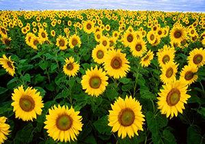 کشت آفتابگردان در بیش از ۲ هزار هکتار از مزارع گلستان