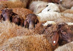 سرقت ۱۲ راس گوسفند در گمیشان